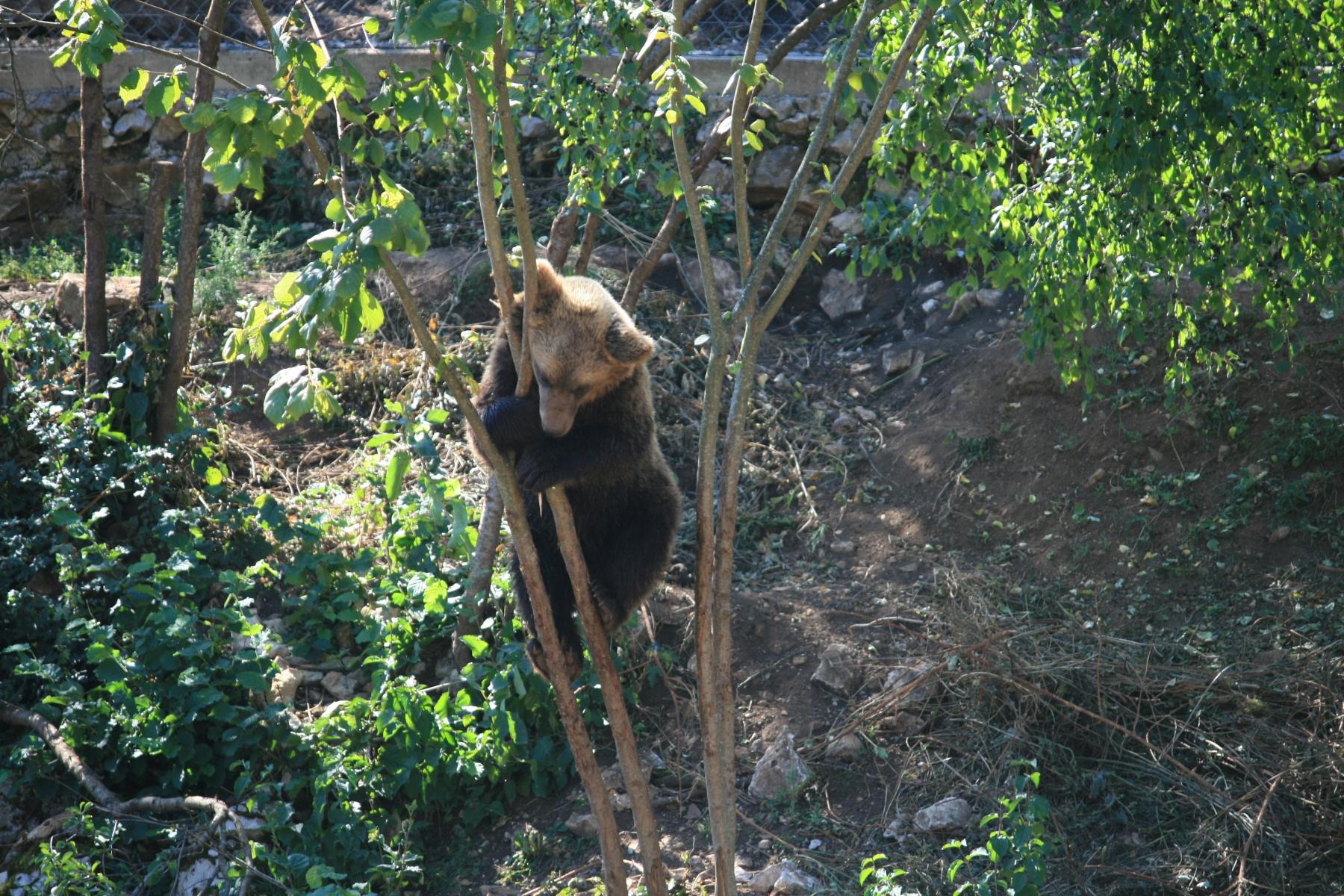 8-Bären-8